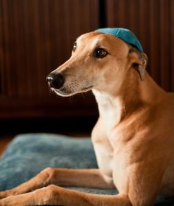 yarmulke dog